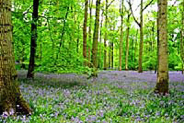 Picture of Bells Wood, Hertfordshire